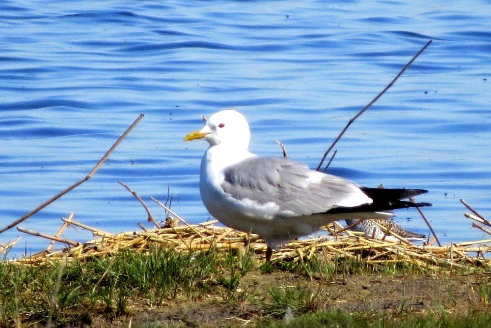Сизая чайка фото птица