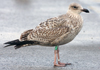 ad LBBG in winter, ringed in the Netherlands. (65647 bytes)