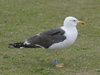 ad LBBG in October, ringed in the Netherlands. (60900 bytes)