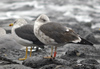 2cy intermedius in October, ringed in Norway. (97235 bytes)