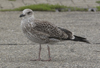 adult graellsii in May, ringed in the Netherlands. (83502 bytes)