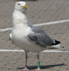 1cy argenteus in August, ringed in Belgium. (90559 bytes)