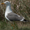 adult LBBG in June, ringed in the Netherlands. (57378 bytes)
