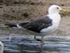 3cy LBBG intermedius in July & August, ringed in Norway. (73514 bytes)