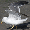 adult LBBG intermedius in September, ringed in Norway. (95609 bytes)