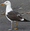 ad LBBG in August, ringed in Norway. (87905 bytes)