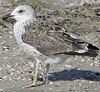 2cy LBBG in August, ringed in the Netherlands. (54795 bytes)
