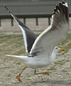adult graellsii in May, ringed in the Netherlands. (72722 bytes)