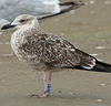 juvenile LBBG in September, ringed in Norway. (110895 bytes)