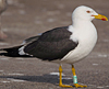 ad LBBG in Januari-April, ringed in the Netherlands. (64361 bytes)