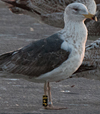 ad LBBG in Januari-April, ringed in the U.K. (72074 bytes)