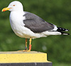 adult LBBG Dutch intergrade in September, ringed in the Netherlands. (85708 bytes)