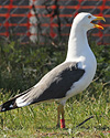 ad LBBG in Januari-April, ringed in the Netherlands. (76807 bytes)